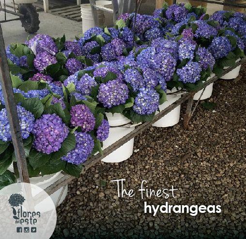 The finest Hydrangeas: www.floresdeleste.com #Hydrangeas #Style #Weddings
