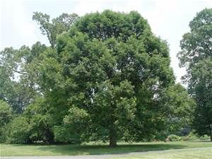 2a33c6859f29d white oak - Bing Images