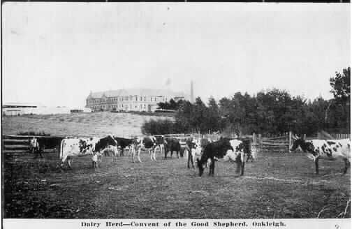 MP 5080. iew of the dairy herd at the Convent of the Good Shepherd Oakleigh, with the convent buildings in the background; c.1900.