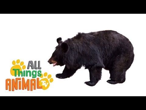 ▶ BLACK BEARS: Animals for children. Kids videos. Kindergarten | Preschool learning - YouTube