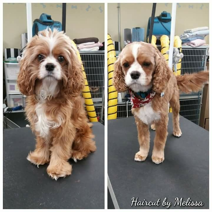 Cockalier King Charles Cavalier And Cocker Spaniel Cross By