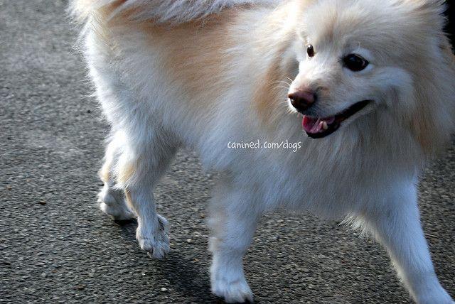German Spitz Pomeranian Mix American Eskimo Pomeranian