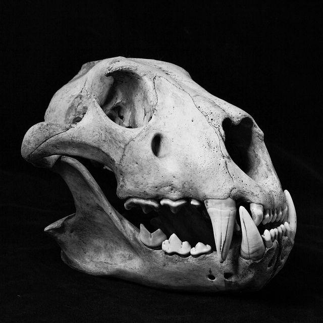    Lion Skull, David Livingstone Centre - Blantyre by Mike Bolam on Flickr.