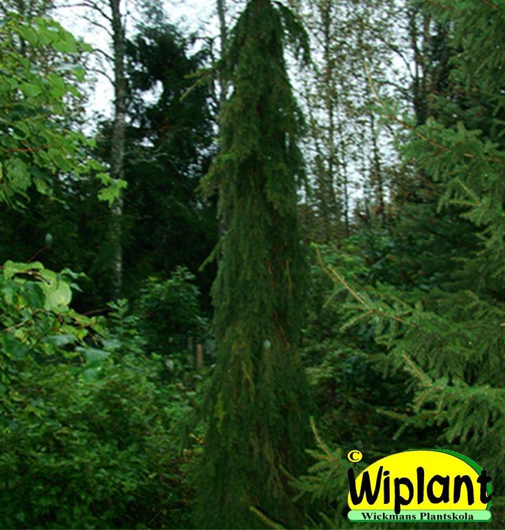 Picea abies 'Pendula', Stor hänggran. Mutation med hängande grenar. Höjd: 5-15 m. Bredd: 1-1,5 m.