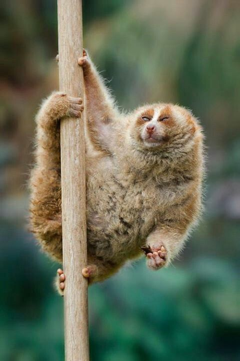 "A Slow Loris:  ""I'm happily picking up speed!"""