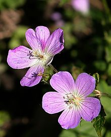 Wild Geranium (Geranium maculatum). When Justine was 3 or 4, I took her with me to a native plant nursery. She begged to get to choose a plant, so I let her explore. She took me to the very back, and insisted THIS was the one. We planted it in a shady spot by our deck, where it thrived. Every year, its first blooms are on (or within a day of) her birthday, April 23.