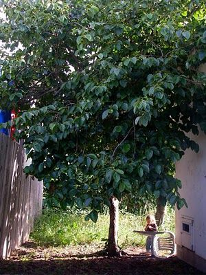 46 Best Images About Back Yard Fruit Trees On Pinterest