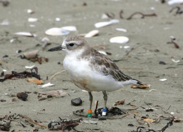 NZ Dotterel - Endemic Native NZ Bird