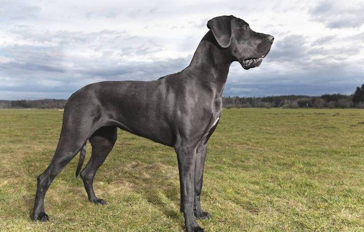 blaue deutsche dogge   Aktuelle Seite: Startseite / AGILA Magazin / Tierlexikon / Deutsche ...