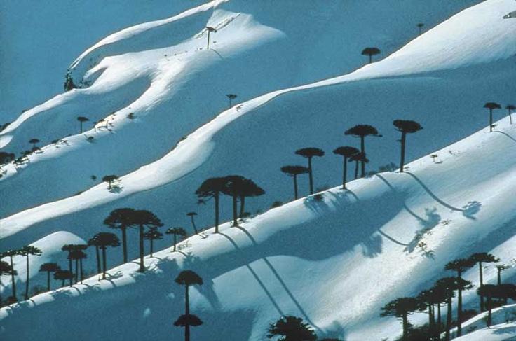 Parque Nacional Conguillio, Araucarias y Nieve