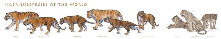 Tiger Subspecies by JennyParks