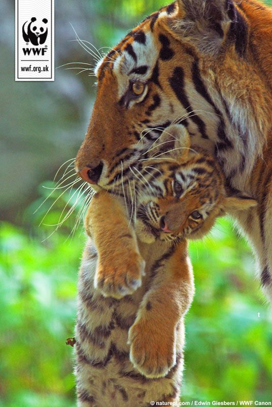 SIberian tiger carrying its cub. Find out to make a donation and protect these animals from wildlife crime.