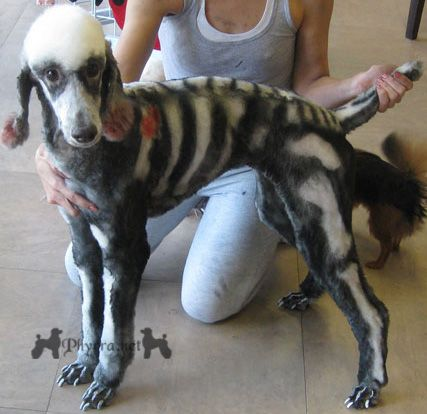 Phaedra the Skelepoodle! Just in time for Halloween. Standard Poodles are amazing.