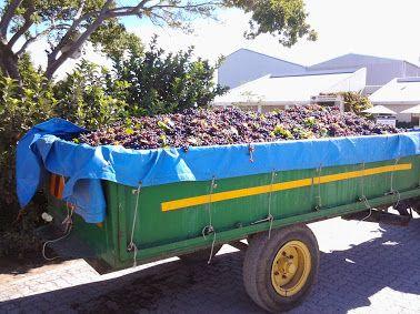 Harvest time at Aan De Doorns
