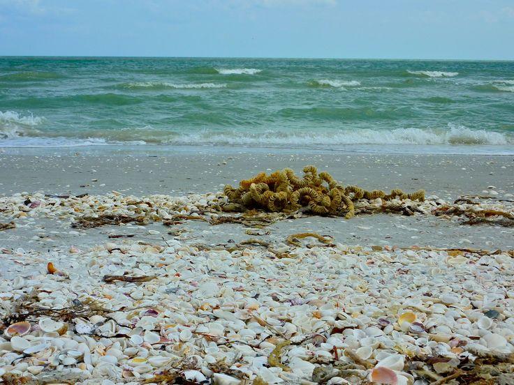 Sanibel Island Shelling: Sanibel Islands Fl, Beaches Area, Islands Shells W, Captiva Islands, Amazing Shells, Seashells Glasses Ston, Islands Fl Shells, Beaches Beauty, Islands Shells Lov