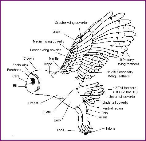 diagram of a barn owl waldorf steiner class 4 zoology. Black Bedroom Furniture Sets. Home Design Ideas