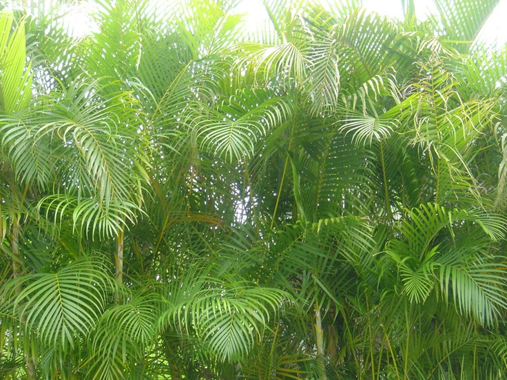 "NASA Purifying Score: 8.5  The top air purifying plant as ranked by NASA's study is the Areca palm tree. Dubbed ""the most efficient air humidifier"" by MetaEfficient, the Areca can be counted on to keep your home or office moist during dry times and continuously remove chemical toxins from the air."