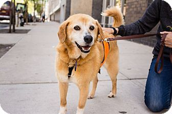 Brooklyn, NY - Retriever (Unknown Type) Mix. Meet Dustin Hoffman, a dog for adoption. http://www.adoptapet.com/pet/10838675-brooklyn-new-york-retriever-unknown-type-mix