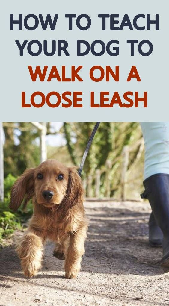 Dogs Do Not Pull On The Leash While Being Walked Because They Want
