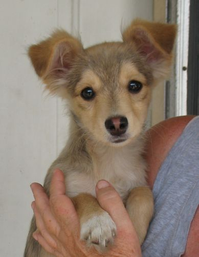 Peachie Pieis the second of two beautiful chi-corgis needing homes in Shorewood, IL. She's just three months old, but she's ca...