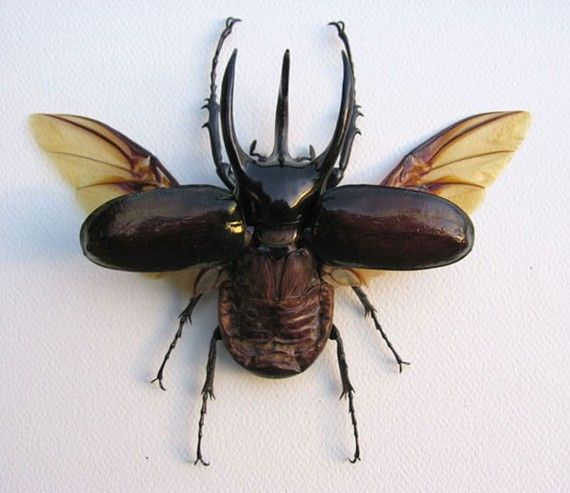 3 HORNED FLYING  BEETLE Real Chalcosoma Atlas by butterflyart7, $64.99