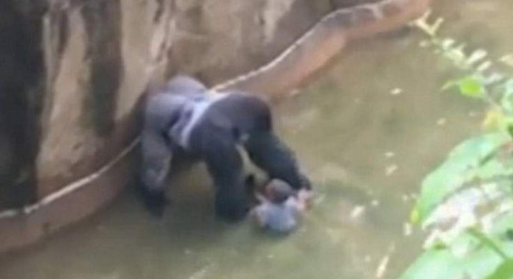 The male gorilla, which was an endangered species, had to be killed by keepers at Cincinnati Zoo in Ohio, US, after the tot crawled through...