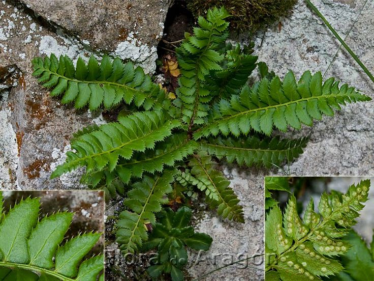Polystichum+lonchitis  leaves over winter