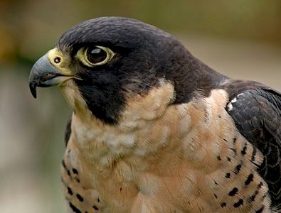 Here's a picture of a grassland hawk's head and face.