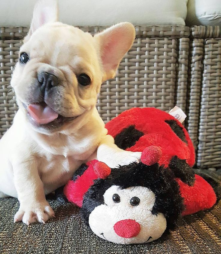 French Bulldoggy is hanging on to her lucky Lady Bug !