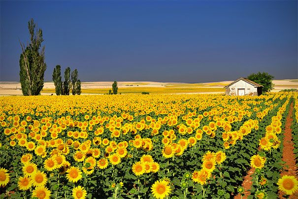 Sunflowers: Rapese, Natural Photography, Color, Beautiful, Landscape Photography, Yellow, Places, Sunflowers Fields, Painting