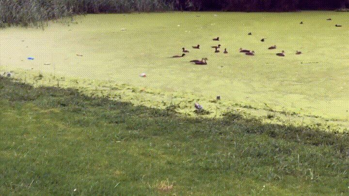 Why are those ducks swimming on grass? gif