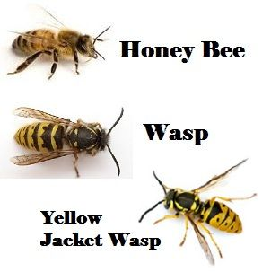 What Is The Difference Between A Yellow Jacket And A Wasp difference of y...