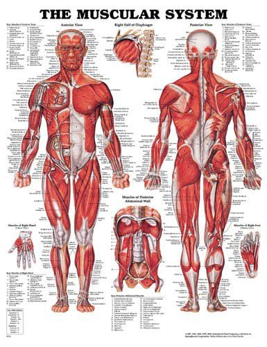 - Muscular System - Classic illustrations by Peter Bachin - Shows anterior and posterior views of the muscular system - Also illustrates right half of the diaphragm muscles of the posterior abdominal