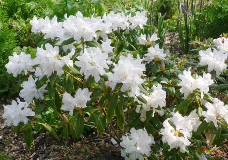 Rhododendron Nain Dora Amateis