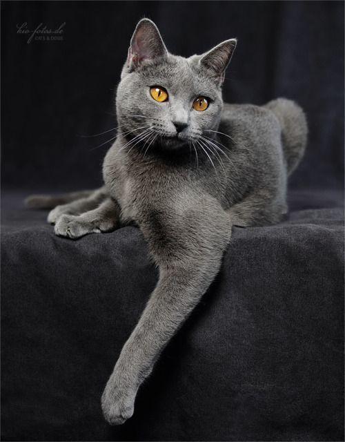 magnifique chat chartreux yeux jaunes