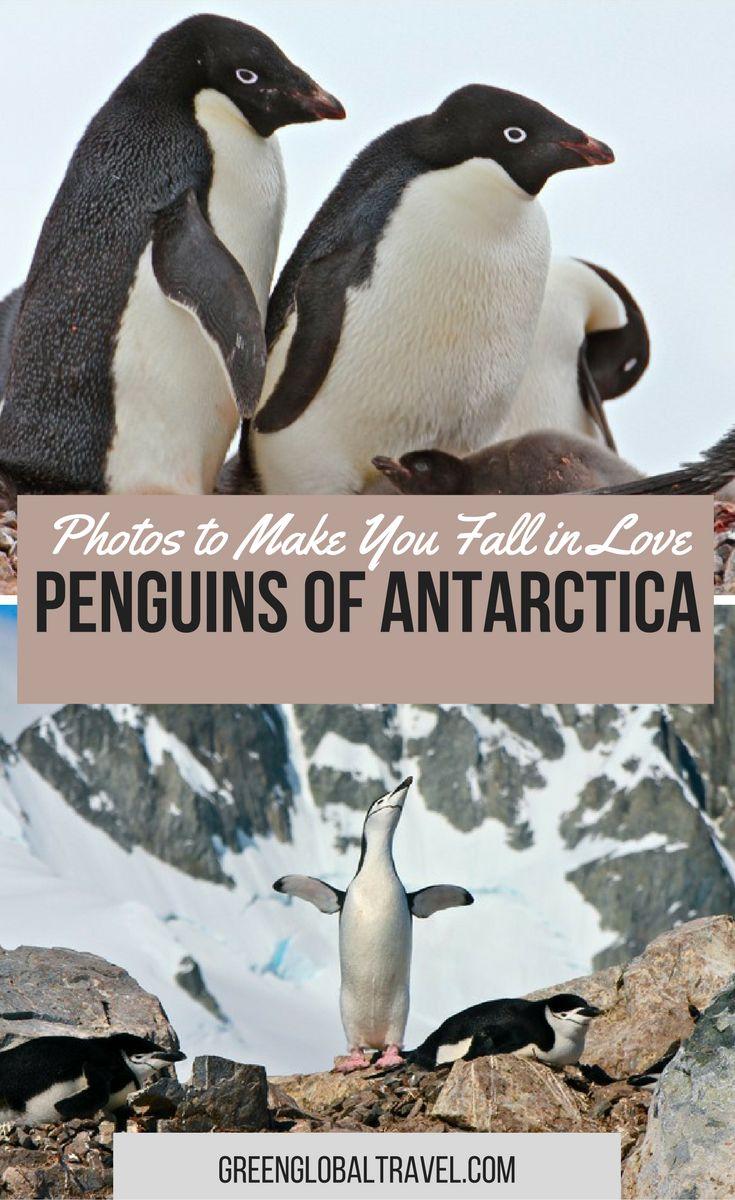Here is our beautiful photo gallery of penguins of Antarctica!   Chinstrap   Gentoo   Albino   Half Moon Island   Orne Harbour   Neko Harbour   Mikkelsen   Weddell Seal   Ardley Island   Adelie  