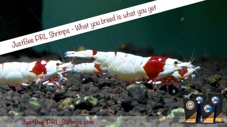 JustBee PRL Shrimps