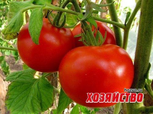 Подкорка помидоров на письмо читателя.jpg