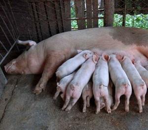 Tras el descubrimiento por primera vez en la historia de peste porcina africana en Ucrania, las Naciones Unidas ha advertido del esfuerzo para controlar el virus, este se ha propagado fuertemente al Cáucaso y amenaza tierras vecinas.