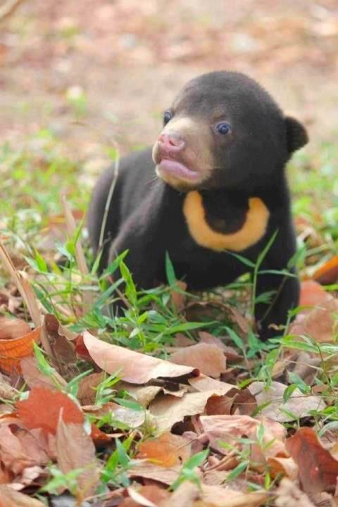 **The reclusive Sun Bear one of the 8 species of bear and smallest member of the bear family ~ Wild for Wildlife and Nature