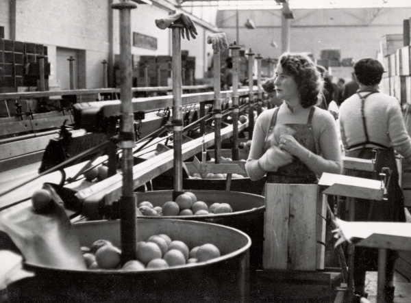 Orange packing at Merbein 1964