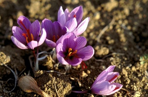 VISIT GREECE| Kozani Crocus Flower© GNTO Moustafellou