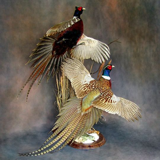 Wood Duck Mounts Ideas | Round-Taxidermy-Base-Walnut-Pheasants-Mount