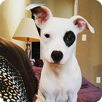 Apex, NC - American Staffordshire Terrier/Bull Terrier Mix. Meet Eva, a puppy for adoption. http://www.adoptapet.com/pet/17382167-apex-north-carolina-american-staffordshire-terrier-mix
