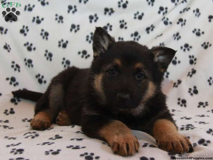cheap german shepherd puppies 1000 images about german shepherd love on pinterest 9585