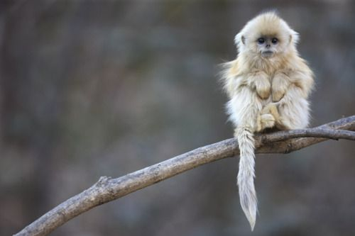 : Baby Monkey, Cute Baby, Golden Snubno, Snubno Monkey, Nose Monkey, Snub Nose, Cute Monkey, Cutest Monkey, Animal