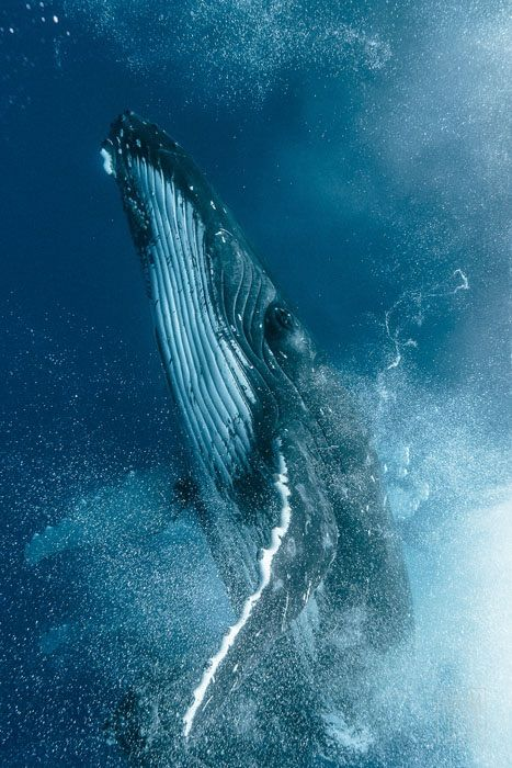 Beautiful Humpback photo. See this in your lifetime. East Coast or West Coast it is a life changing thing.