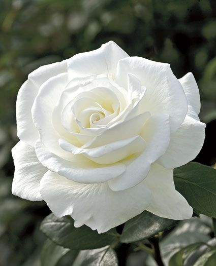 Sugar Moon Hybrid Tea Rose - A clean white rose with an intense fragrance to excite the senses.