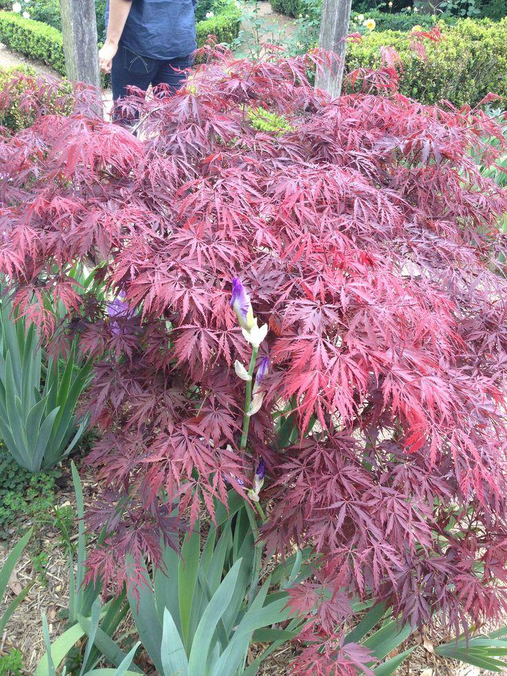 Miniature Red Japanese Maple at Merribee www.merribee.com.au
