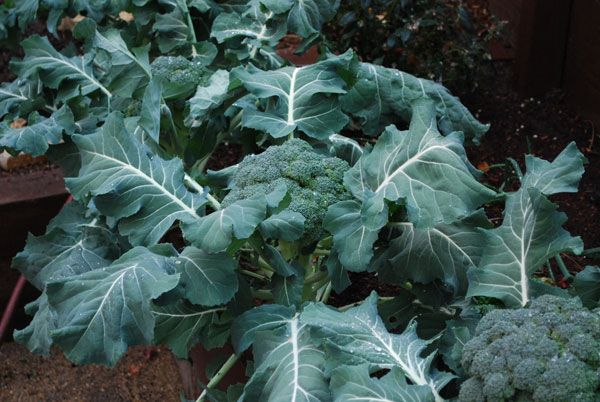 'Blue Wind' broccoli is a very productive early variety with good side shoot production.